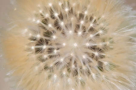 pappus: Closeup of dandelion seed head with parachute-like pappus