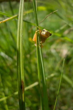 hyla: Young treefrog, Hyla arborea, on grass leaf