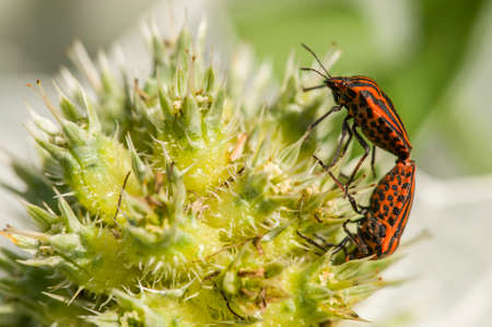 graphosoma: Mating of Graphosoma italicum coleopterons on green plant
