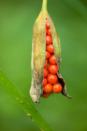 arum: Arum, araceae, fruit with grouped red seeds