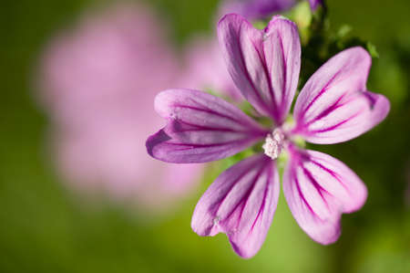 Malva herbaceous annual, biennial, and perennial plants in the family Malvaceae, mallow. Imagens - 32622217