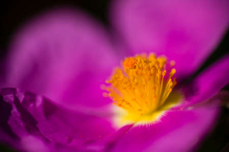 Rock rose purple flower detail with yellow stamen and pistils photo