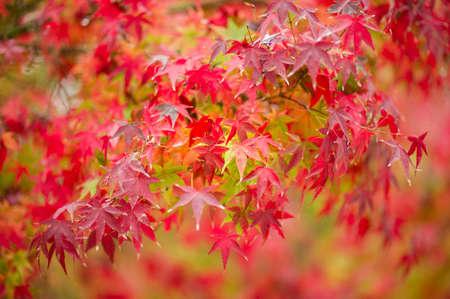 acer palmatum: Maple tree, Acer palmatum,  with red leaves in Autumn