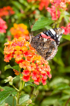 admiral: Red Admiral (Vanessa atalanta) colourful butterfly on Lantana flowers Stock Photo