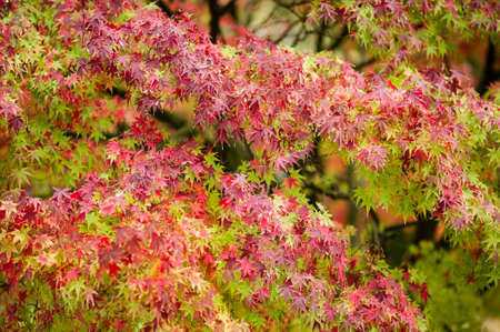 palmatum: Maple tree, Acer palmatum,  with red leaves in Autumn