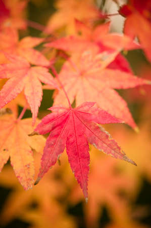 acer palmatum: Maple tree leaves in Autumn, Acer palmatum