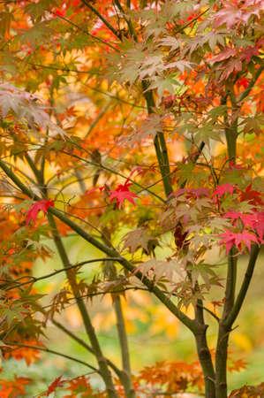 acer palmatum: Maple tree leaves in Autumn, Acer palmatum