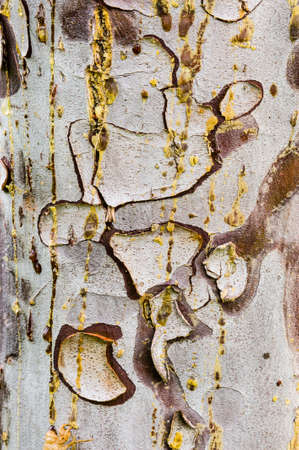 Cypress tree bark detail of colorful trunk after the rain photo