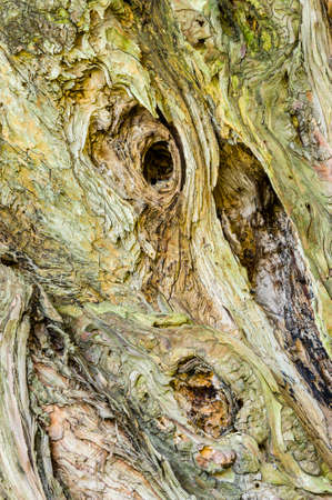 cypress tree: Detail of old Cypress tree trunk with knots and cracks Stock Photo