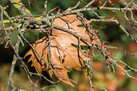 arbol alamo: Detalle de hoja otoñal álamo y bayas rojas