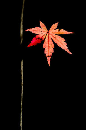 palmatum: Detail of autumnal maple tree with yellow, orange, and red leaves, Acer palmatum