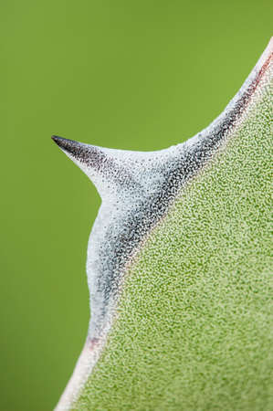 thorn tip: Detail of succulent plant Agave tip of leaf in the sun