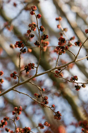 ironwood: Parrotia persica red flowers on blue sky , Persian ironwood Stock Photo