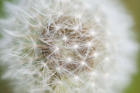 taraxacum: Close up of Dandelion seed head, Taraxacum officinale Stock Photo