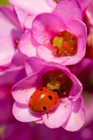 septempunctata: Ladybug, ladybird, inside pink flowers, Adalia septempunctata