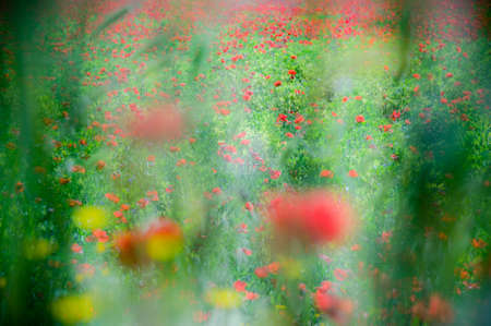 common vision: Artistic vision of  Common poppy flowers, Papaver rhoeas, in a cultivated field