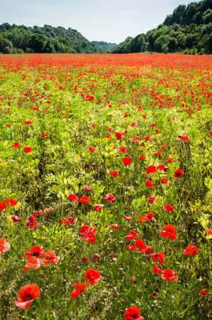 papaver: Common poppy flowers, Papaver rhoeas, in a cultivated field
