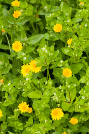 chickweed: Yellow daisis among green leaves of chickweed