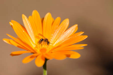 mellifera: Honey bee collecting nectar and pollen on an orange daisy Stock Photo