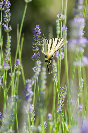 scarce: Scarce Swallowtail (Iphiclides podalirius) butterfly also called Sail or Pear-tree, on Lavander flowers. Stock Photo