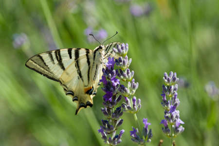 Scarce Swallowtail (Iphiclides podalirius) butterfly also called Sail or Pear-tree, on Lavander flowers. Stock Photo