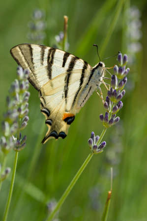 lavander: Scarce Swallowtail (Iphiclides podalirius) butterfly also called Sail or Pear-tree, on Lavander flowers. Stock Photo