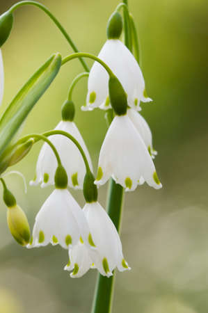 herbaceous: Leucojum vernum, spring snowflake, perennial, herbaceous flowering plant in the daffodil family Amaryllidaceae, native to central and southern Europe. Stock Photo