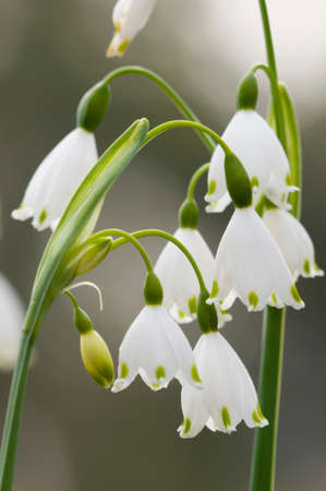 Leucojum vernum, spring snowflake, perennial, herbaceous flowering plant in the daffodil family Amaryllidaceae, native to central and southern Europe. Reklamní fotografie