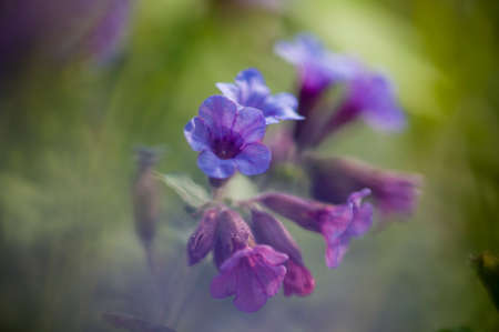 lilla: Pink and blue bell flowers in romantic light