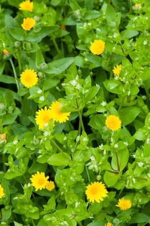 chickweed: Stellaria media, chickweed, white flowers and yellow daisies