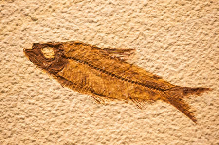 prehistoric fish: Fossil of fish similar to present sardine