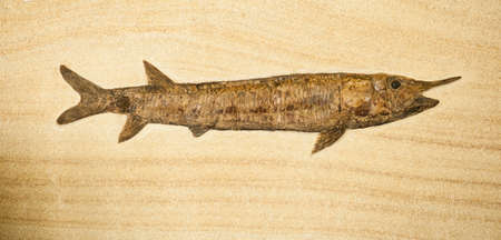 prehistoric fish: Fosil of fish with long body and horn Stock Photo