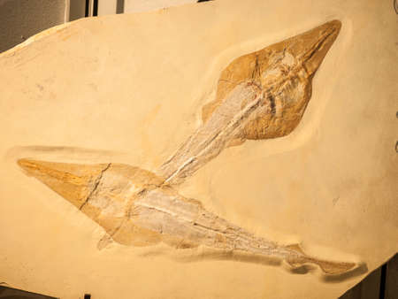 fossilized: Fossil of two Rhynobatos fishes inside fossilized sand.