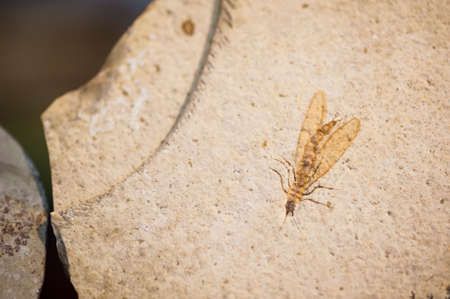 Fossil of insect with wings and legs