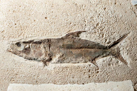 prehistory: Close up Fossil fish of prehystoric era Stock Photo