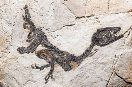 fossilized: Reconstruction of fossil of Scipionyx samniticus, genus of compsognathid theropod dinosaur from the Early Cretaceous of Italy