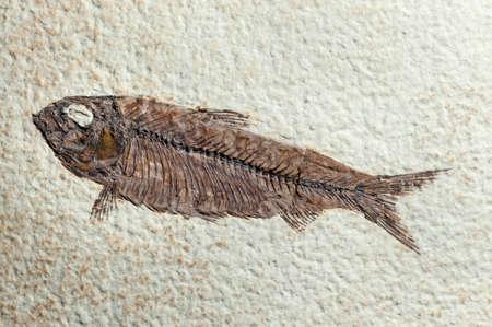 paleontology: Close up Fossil fish of prehystoric era Stock Photo