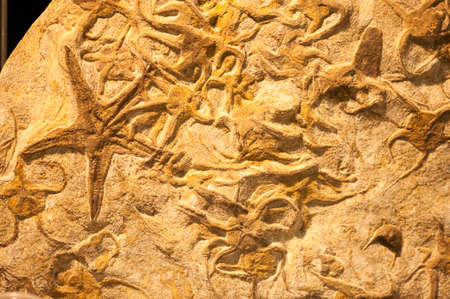 fossil: Group of fossilized starfishes inside fossil sand Stock Photo