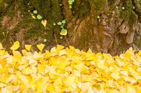 gingko: Ginkgo biloba leaves in autumn, ginkgo or gingko, maidenhair tree, is the only living species in the division Ginkgophyta