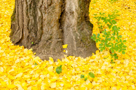 species living: Ginkgo biloba leaves in autumn, ginkgo or gingko, maidenhair tree, is the only living species in the division Ginkgophyta
