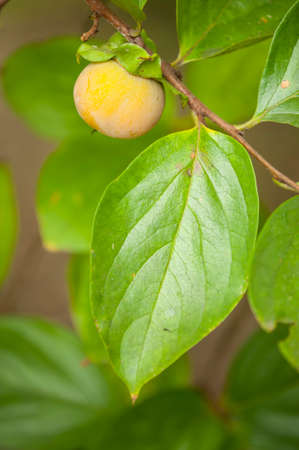 tangy: Close up of young fruit and leaf of persimmon, kaki, a sweet, slightly tangy fruit tree from China, Diospyros. Stock Photo