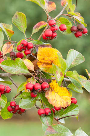 ornamental bush: Red berries of ornamental bush in Autumn