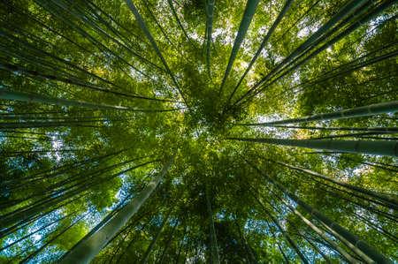 below: Green Bamboo forest seen from below under the sun