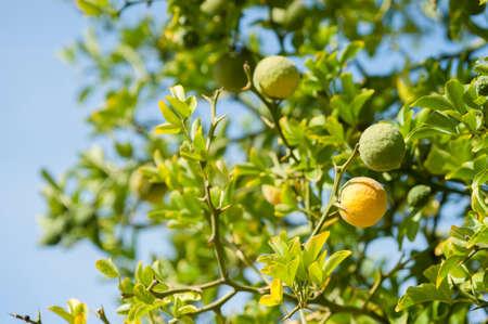 Yellow and green Fruits of Bergamot orange on tree, Citrus bergamia