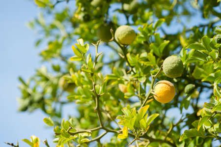 Yellow and green Fruits of Bergamot orange on tree, Citrus bergamia