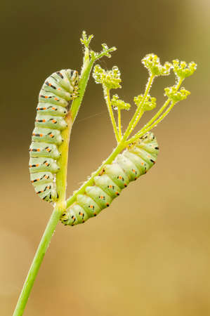 swallowtail: Caterpillar of common yellow swallowtail butterfly, Papilio machaon
