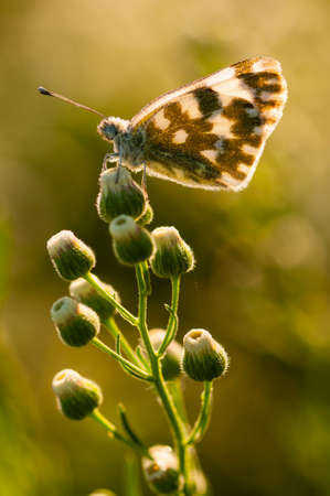 bask: Common butterfly covered with dew drops and basking in the sun
