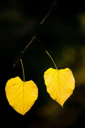 tilia: autumnal leaves of lime tree, basswood, linden, Tilia