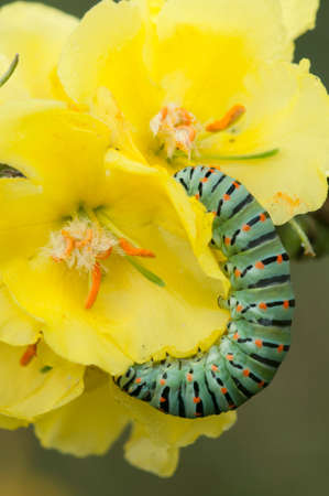 machaon: Caterpillar of common yellow swallowtail butterfly, Papilio machaon