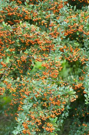 ornamental bush: Orange berries of ornamental bush in Autumn